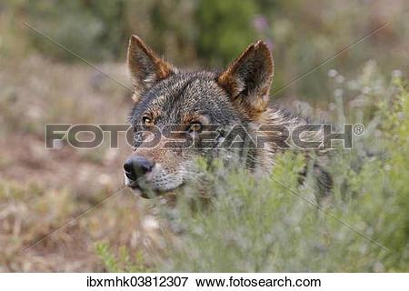 "Picture of ""Iberian Wolf (Canis lupus lupus), Antequera, Spain."