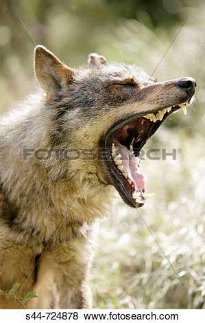 Pictures of Iberian Wolf (Canis lupus signatus) s44.