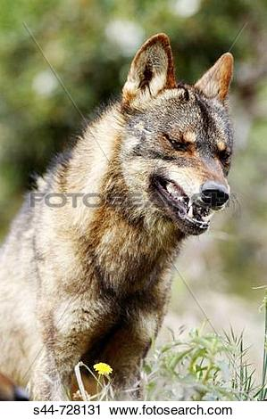Iberian wolf clipart #16