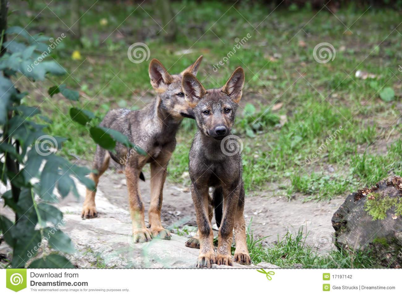 Iberian Wolf Pups Stock Photography.