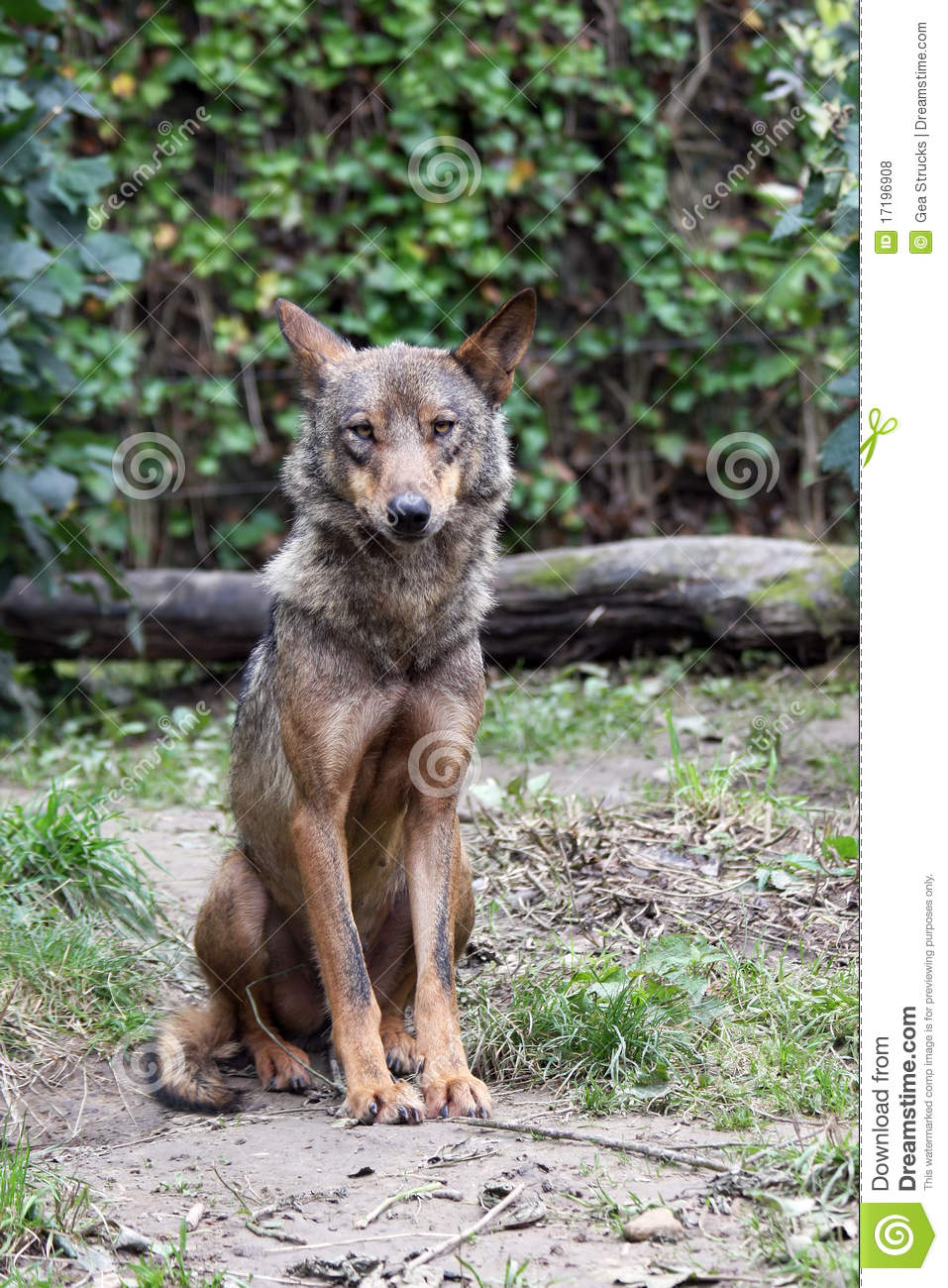 P0rtrait Of An Female Iberian Wolf Royalty Free Stock Photos.
