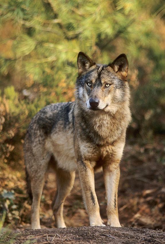 Iberian Wolf, Canis lupus signatus.