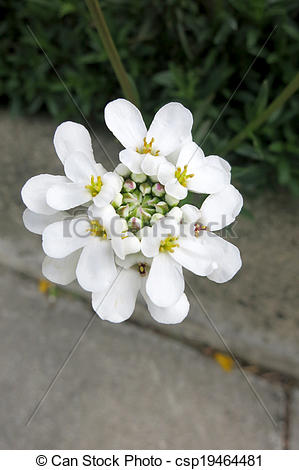 Pictures of Evergreen candytuft or Perennial candytuft (Iberis.