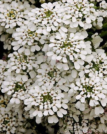 Iberis Sempervirens Snowflake Flowers Stock Photo.