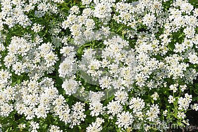 Evergreen Candytuft Or Perennial Candytuft (Iberis Sempervirens.
