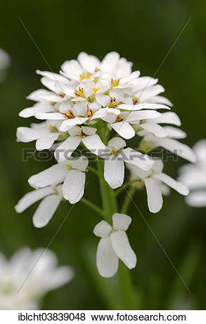 """Pictures of """"Evergreen Candytuft (Iberis sempervirens), Germany."""