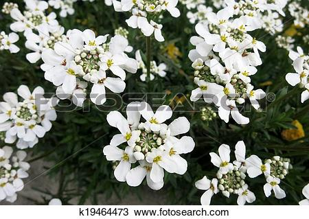 Stock Photo of Evergreen candytuft or Perennial candytuft (Iberis.