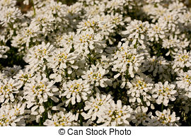 Stock Photo of Evergreen candytuft.