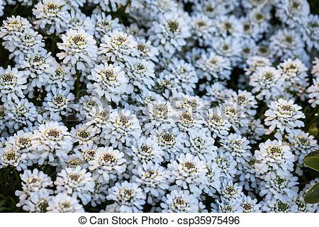 Stock Photographs of Iberis sempervirens Snowflake flowers.