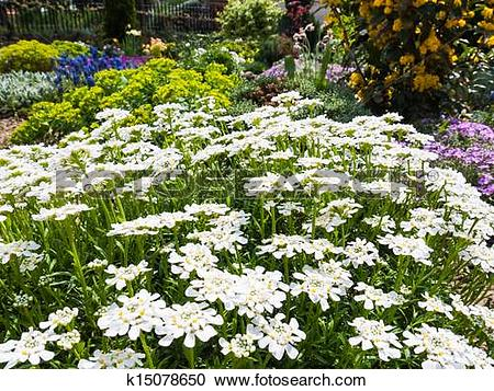 Stock Photography of Iberis Sempervirens Candytuft k15078650.