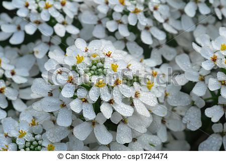 Stock Photo of white iberis sempervirens flower.