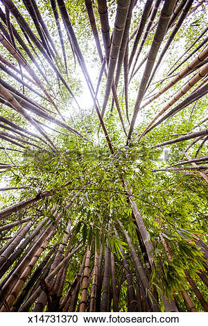 Stock Photography of Bamboo trees in Ibirapuera Park in Sao Paulo.