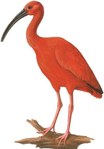 Scarlet ibis clip art.