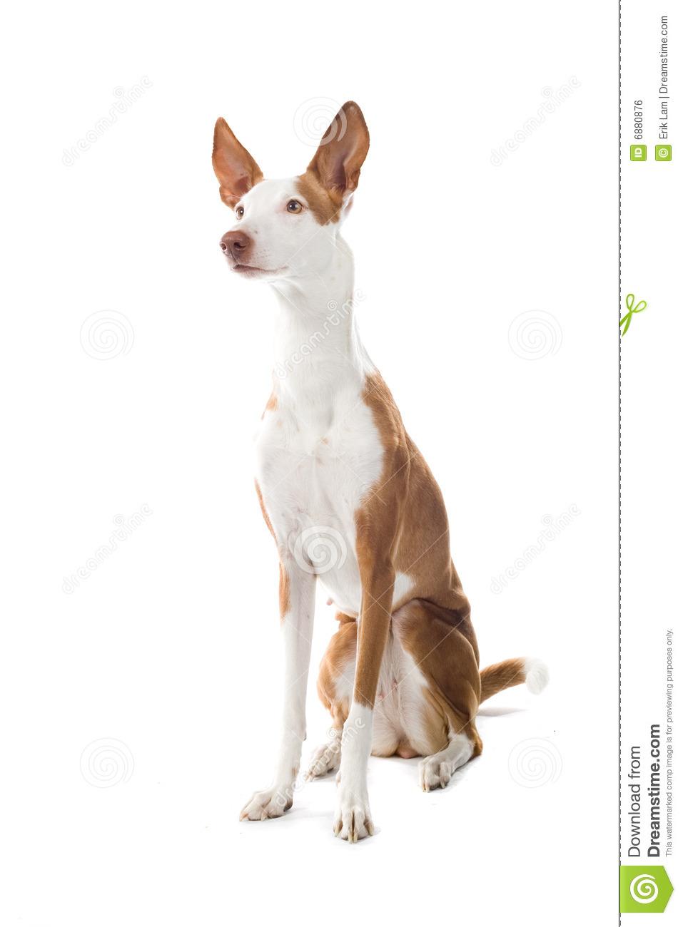 Ibizan Hound Dog Royalty Free Stock Image.