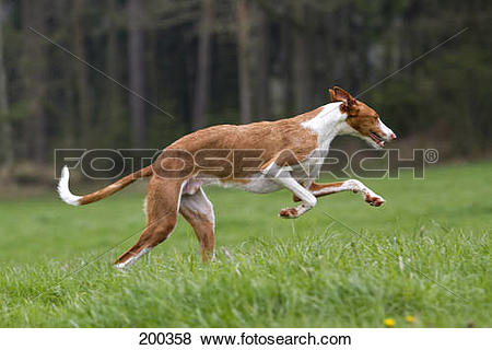 Pictures of Ibizan Hound. Adult dog running on a meadow. Germany.