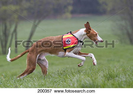 Picture of Ibizan Hound. Adult dog working as search and rescue.