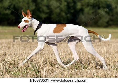 Stock Photography of Ibizan Hound dog run in field k10376501.