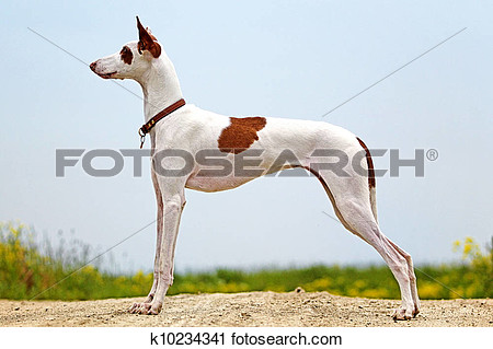 Ibizan hound clipart.