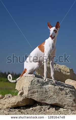 Ibizan Hound Stock Photos, Royalty.
