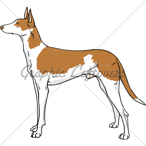 Ibizan Hound · GL Stock Images.