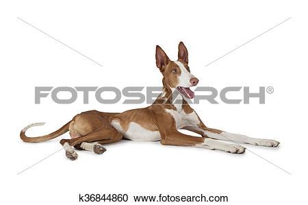 Stock Photography of Podenco ibicenco (Ibizan Hound) dog k36844860.