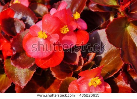 Red Begonia Bloom Stock Photos, Royalty.