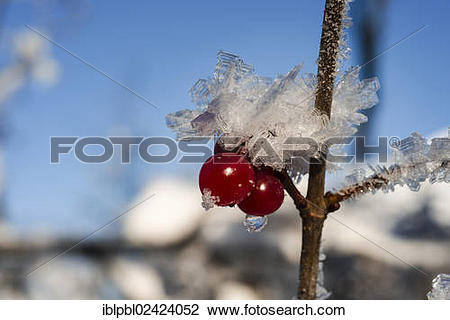 Stock Photo of High bush cranberries (Viburnum trilobum) and ice.