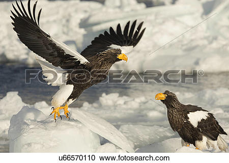 Stock Photography of Steller's Sea eagle with outstretched wings.