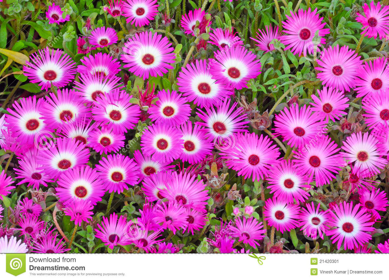 Ice Plant Flower Royalty Free Stock Photography.