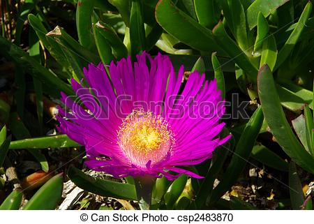 Stock Photography of Ice plant 05 csp2483870.
