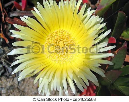 Stock Photos of Ice Plant.