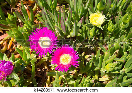 Stock Photography of Ice plant k14283571.