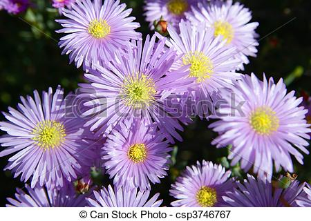 Picture of Pink mesembryanthemum mesums ice plant bloom csp3746767.