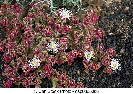 Stock Image of Crystalline Ice Plant.