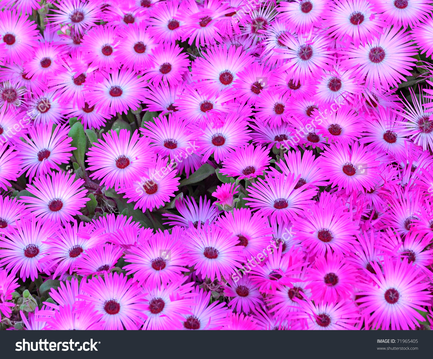 Top View Ice Plant Cultivated Garden Stock Photo 71965405.