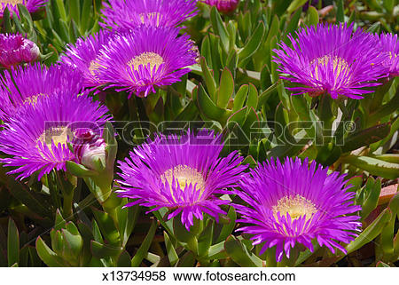 Pictures of Pigface or Ice plant, in flower x13734958.