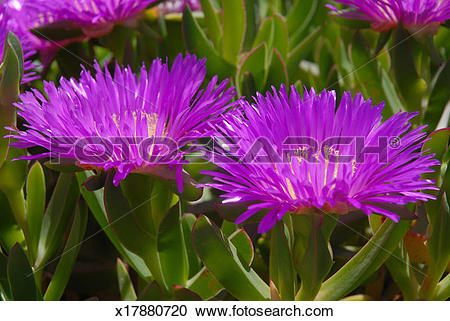 Stock Photography of Pigface or Ice plant, in flower x17880720.