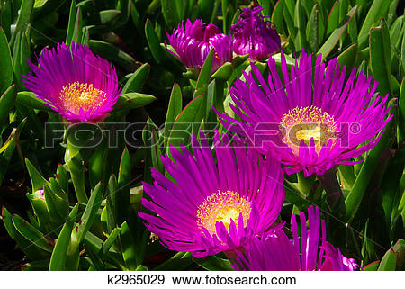 Stock Photograph of Ice plant 03 k2965029.