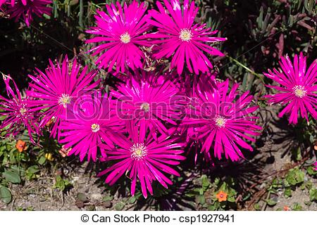 Stock Photography of Ice plant.