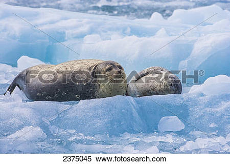 Stock Image of Harbor seal adult and pup rest on a glacier iceberg.