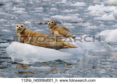 Stock Photo of Harbor Seals hauled out on an ice floe at Meares.
