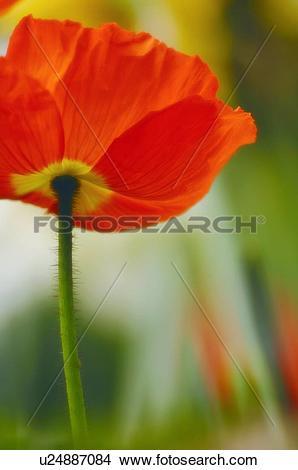 Stock Photo of Iceland poppy (Papaver nudicaule) u24887084.
