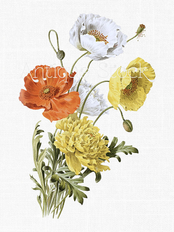Poppy Flower Clipart 'Iceland Poppies' Plant by AntiqueStock.
