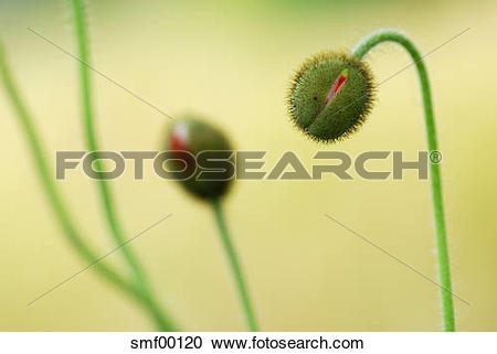 Stock Photography of Two buds of iceland poppy (papaver nudicaule.