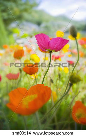 Stock Photo of Germany, Iceland poppy (Papaver nudicaule), close.