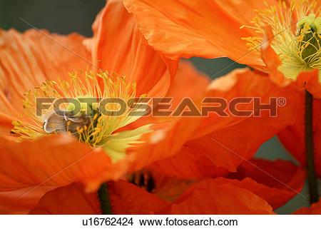 Stock Photo of Bright Orange Iceland Poppies u16762424.