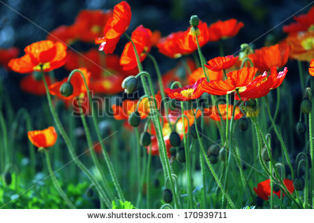 Iceland Poppy Stock Images, Royalty.