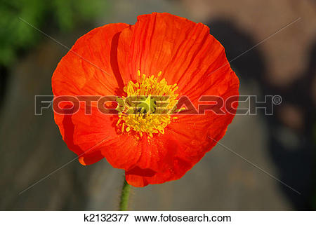 Picture of iceland poppy 01 k2132377.