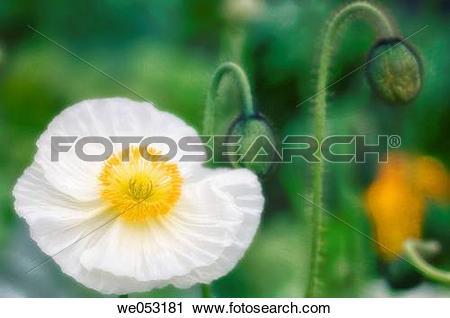 Stock Photography of White Icelandic poppy, Iceland Poppy. Papaver.
