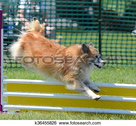 Stock Images of Icelandic Sheepdog at Dog Agility Trial k36455826.